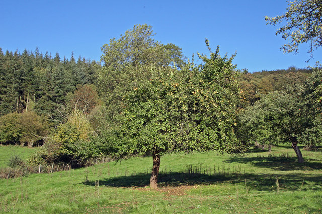 File:Cider apple harvest in Herefordshire - geograph.org.uk - 267018.jpg