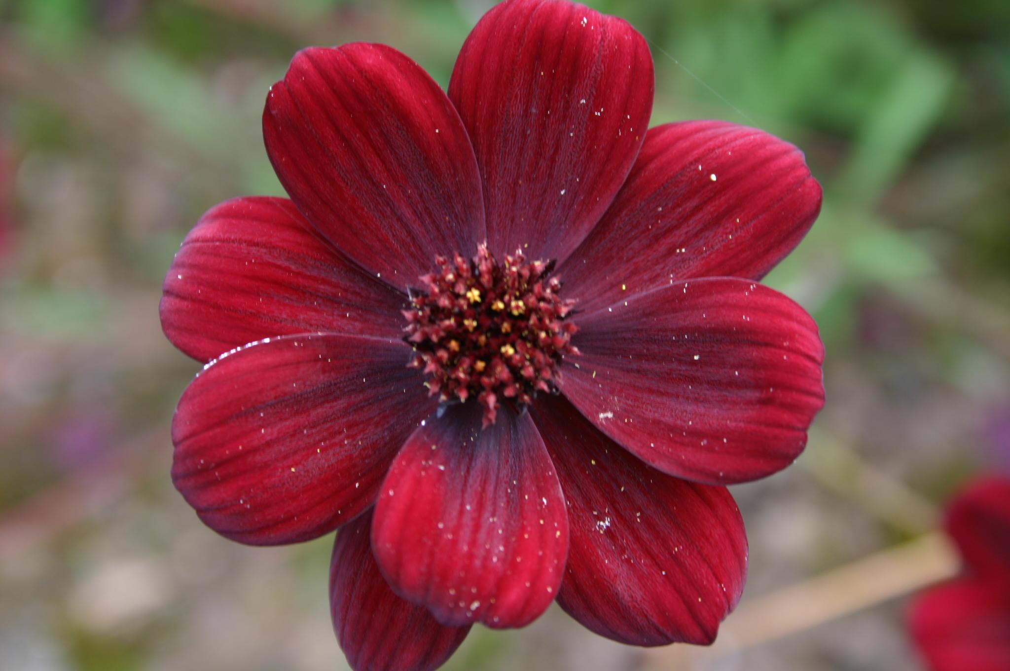 File Cosmos atrosanguineus flower