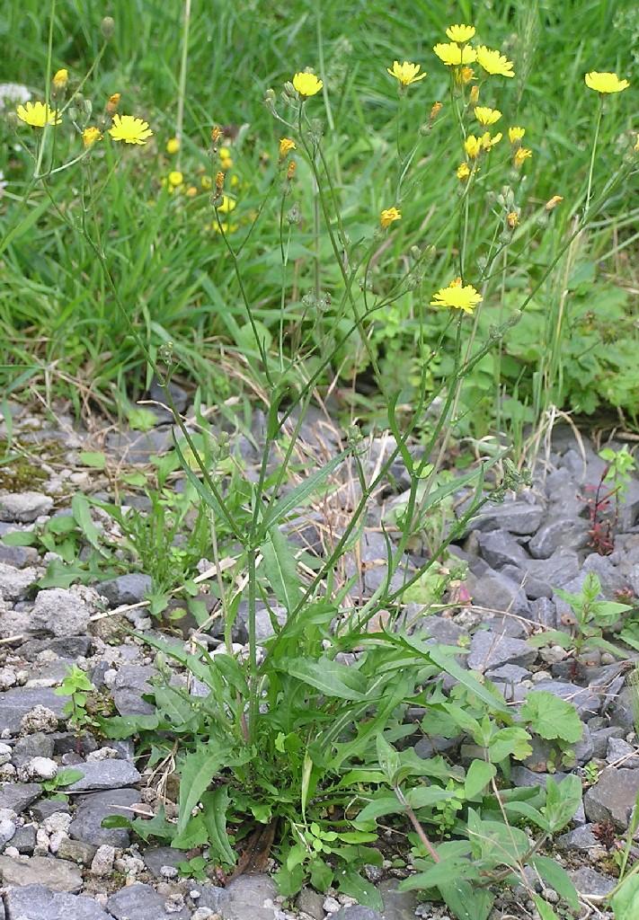 Crepis capillaris - Wikipedia - Crepis