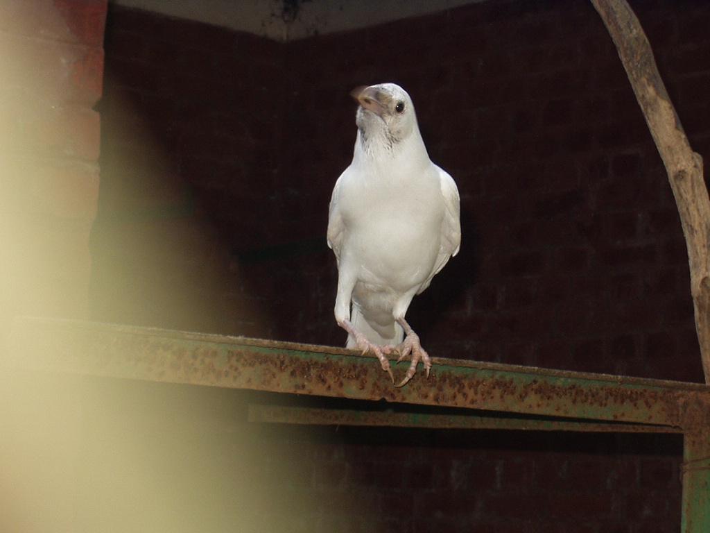 Белая Ворона Скачать Бесплатно Торрент - фото 5
