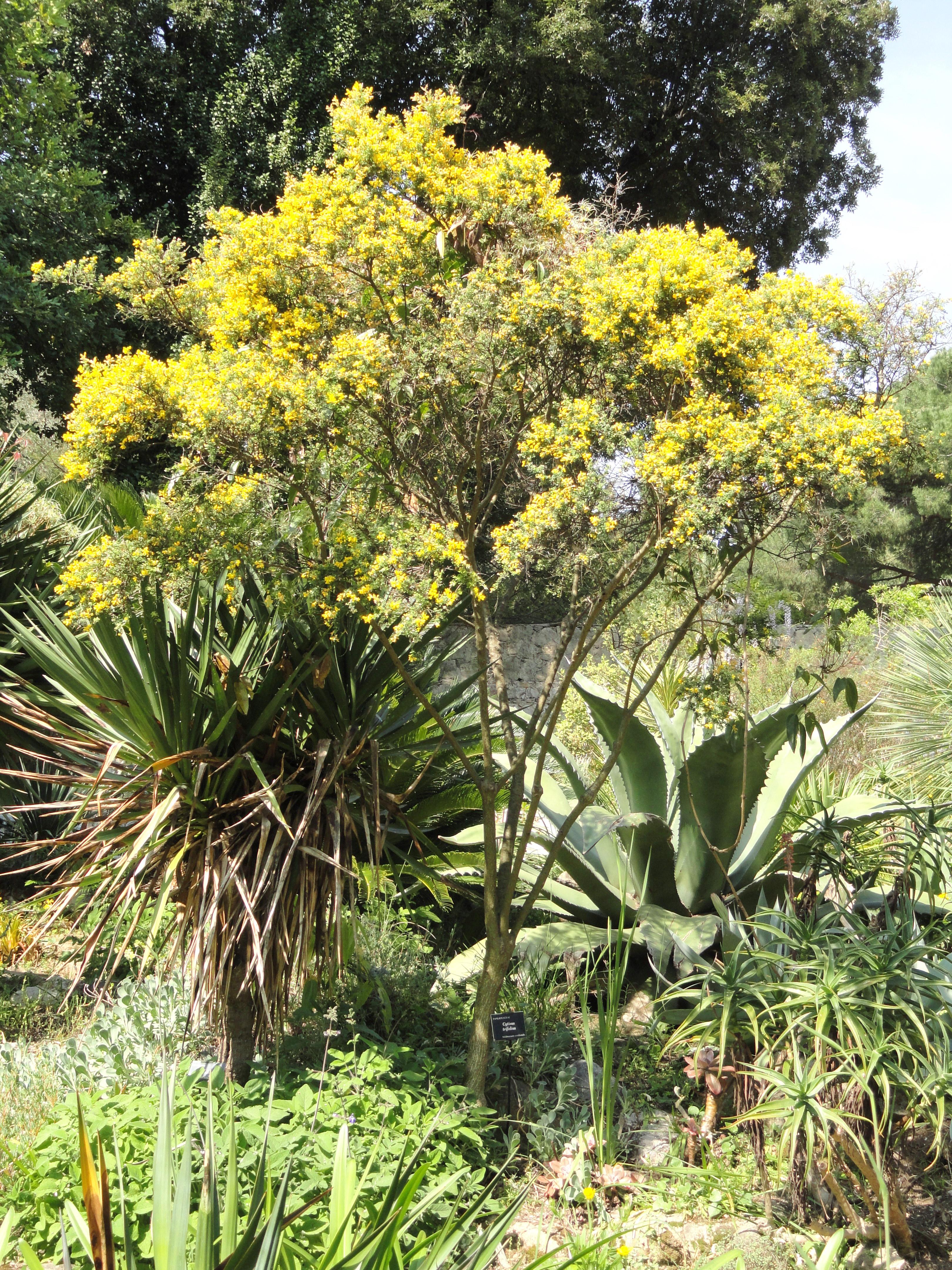 File cytisus trifolius jardin serre de la madone dsc04062 jpg wikimedia - Serre de jardin 12m2 ...