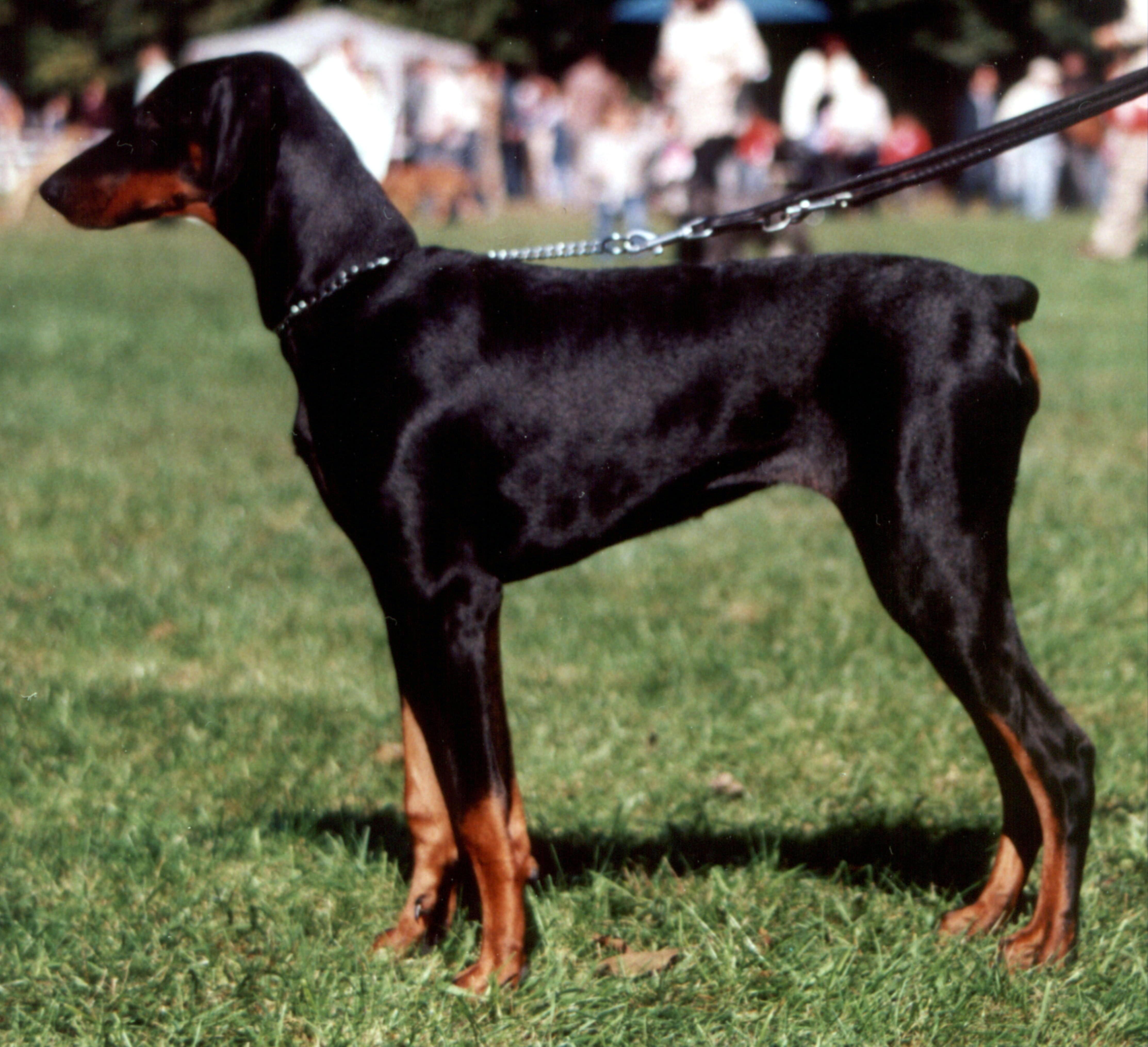 Doberman Show Dogs Uk