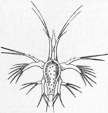 File:EB1911 Crustacea Fig. 12.—Nauplius of a Prawn.jpg
