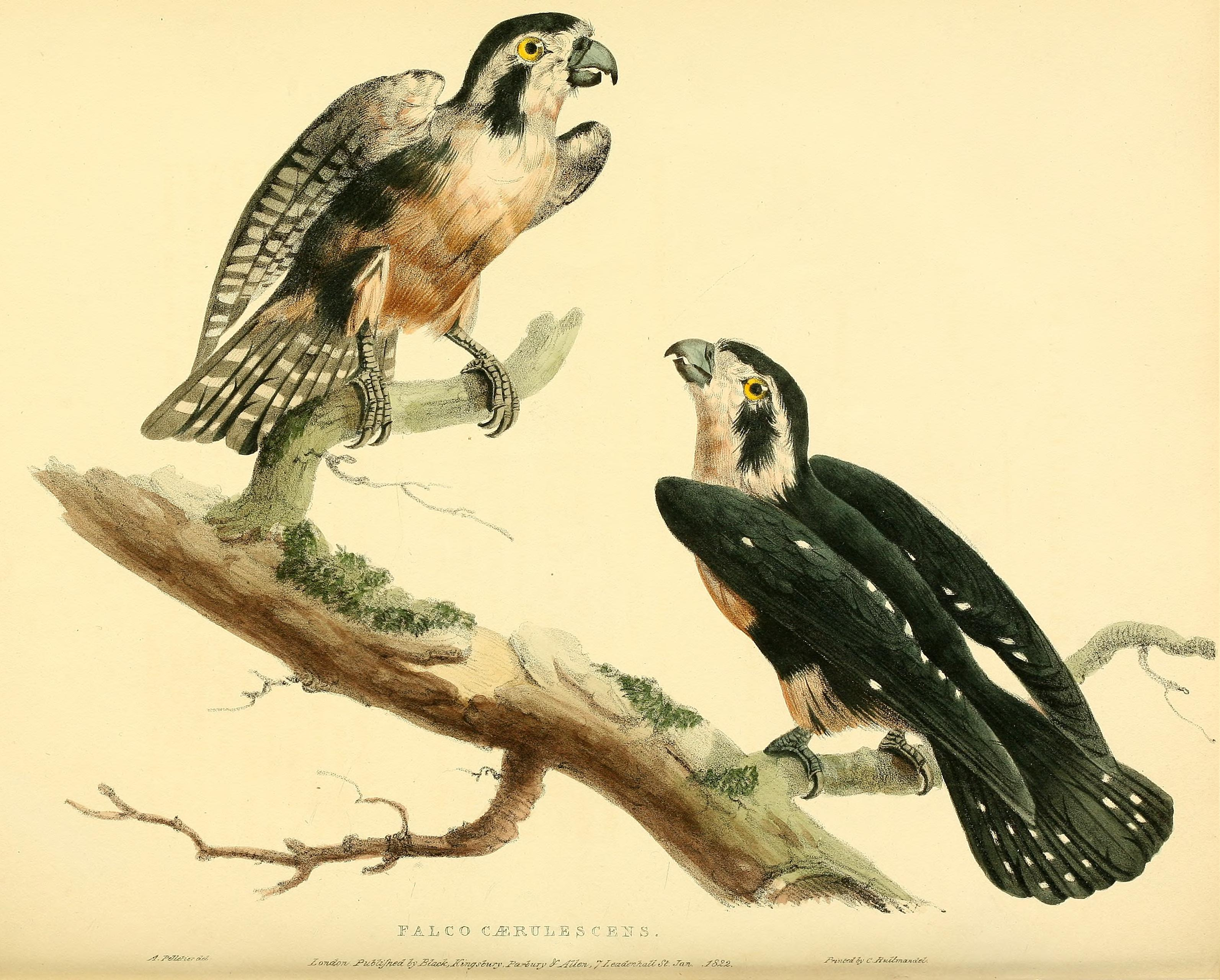 Datei:Falco fringillarius Pelettier Hullmandel 1822.jpg