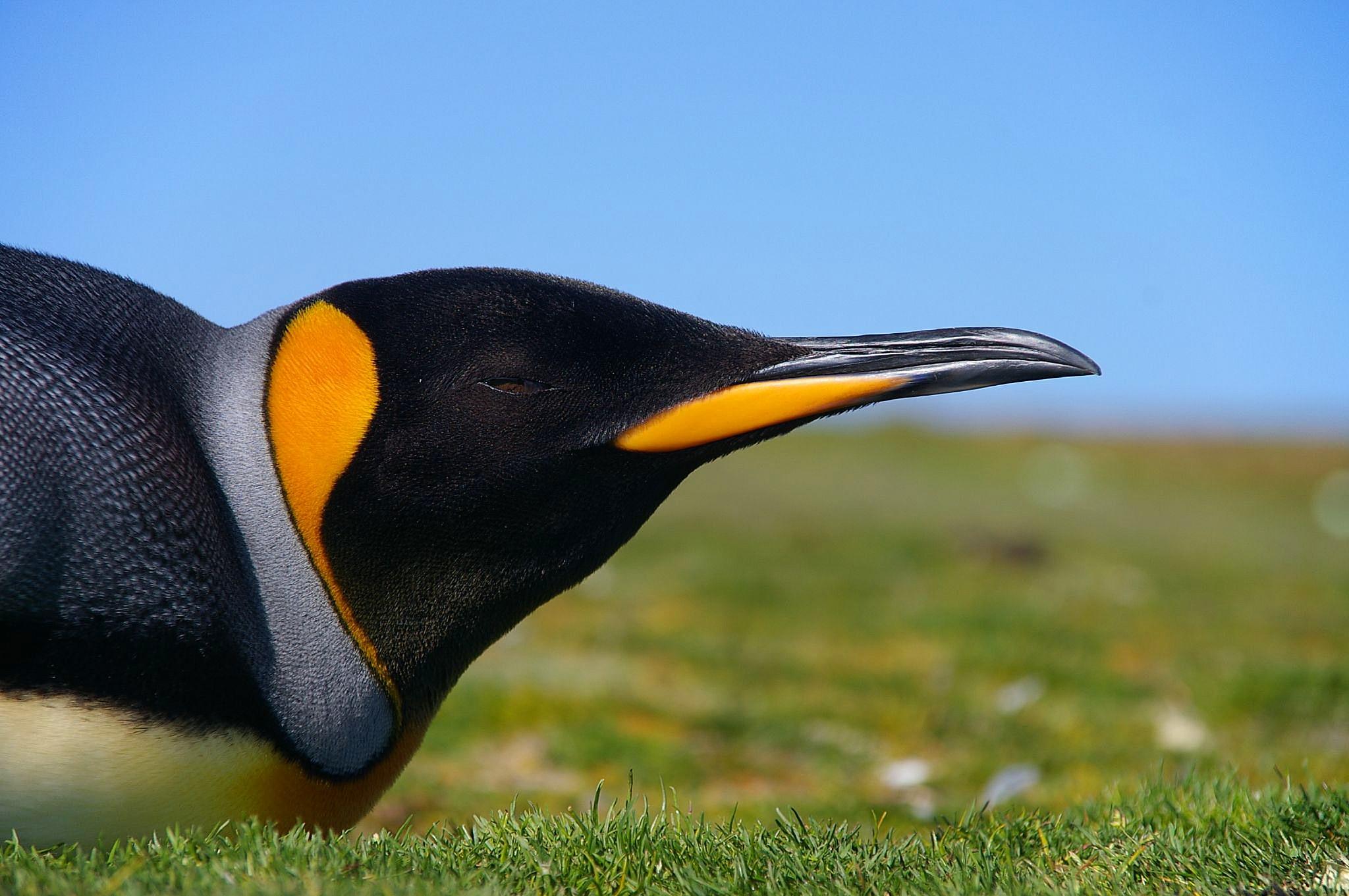 English: King Penguin (Aptenodytes patagonicus...