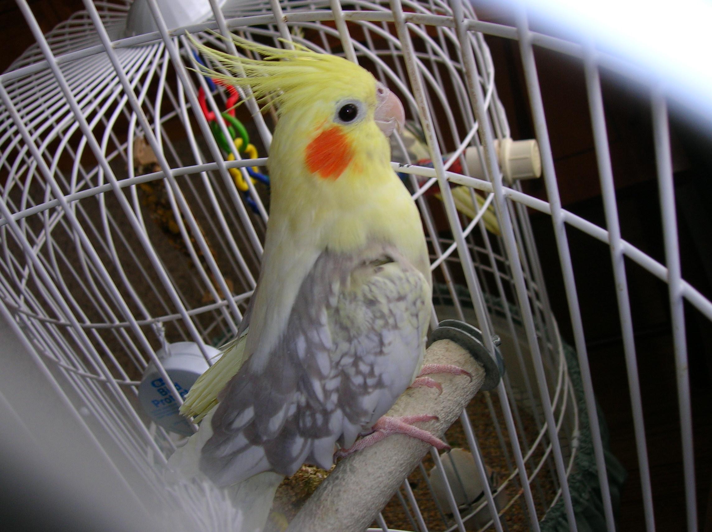 Pearl Cockatiel Male Or Female 94