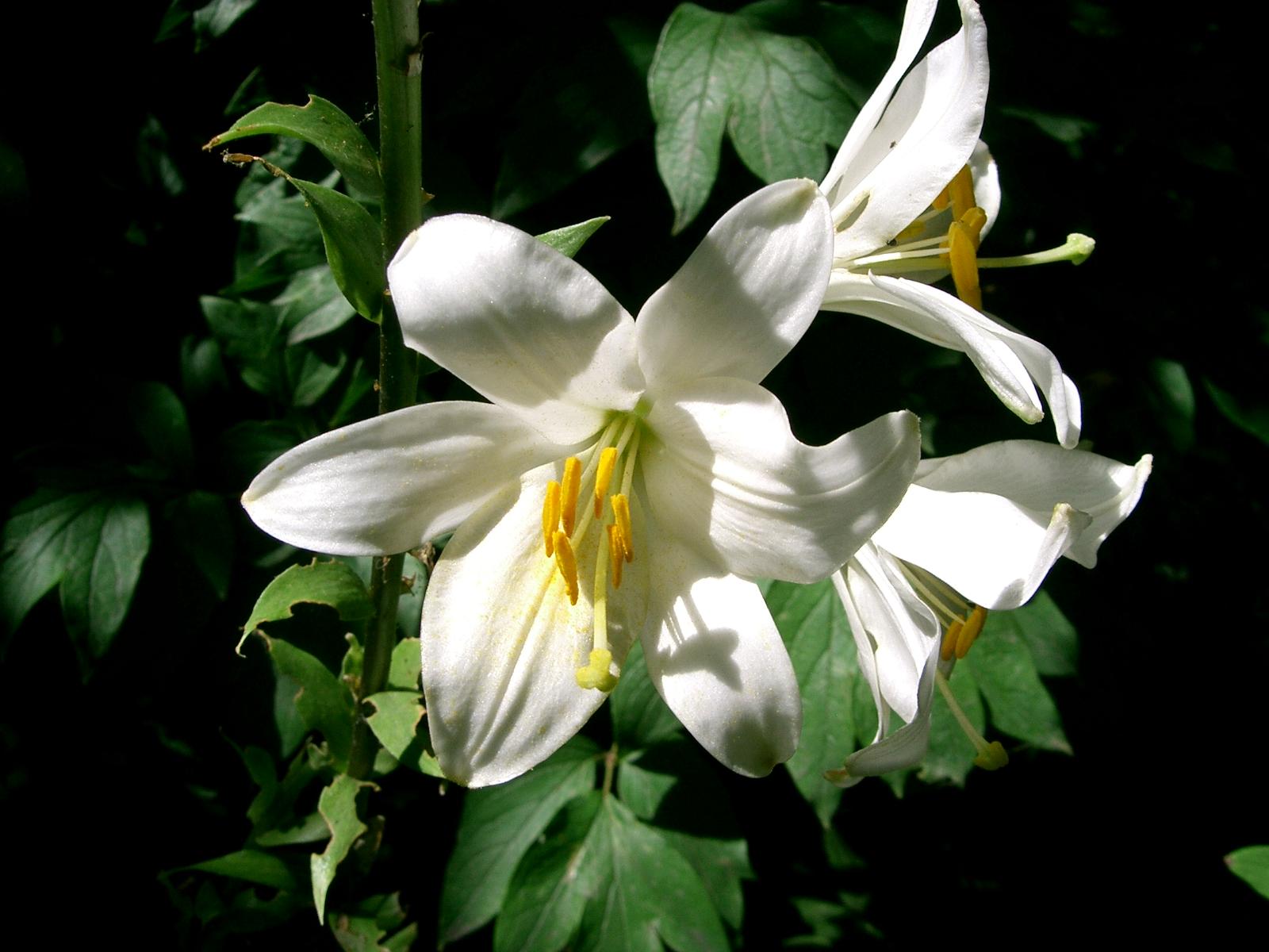 Http Commons Wikimedia Org Wiki File Fleurs De Lys Jpg
