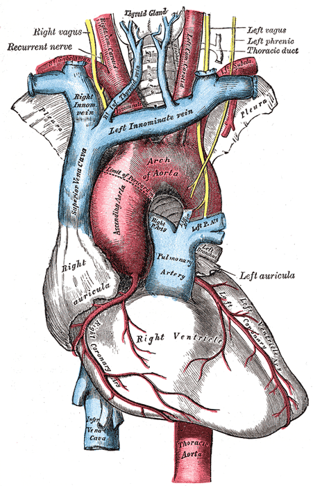 Aortic arch - Wikiwand