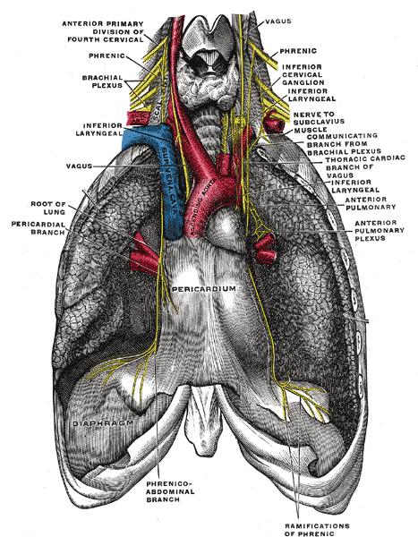 Nerf phrénique — Wikipédia