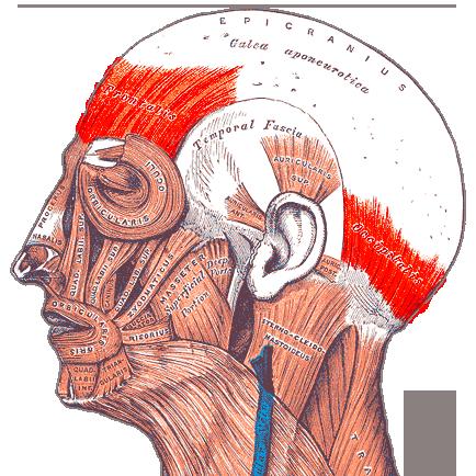 File:Gray — musculus epicranius.png