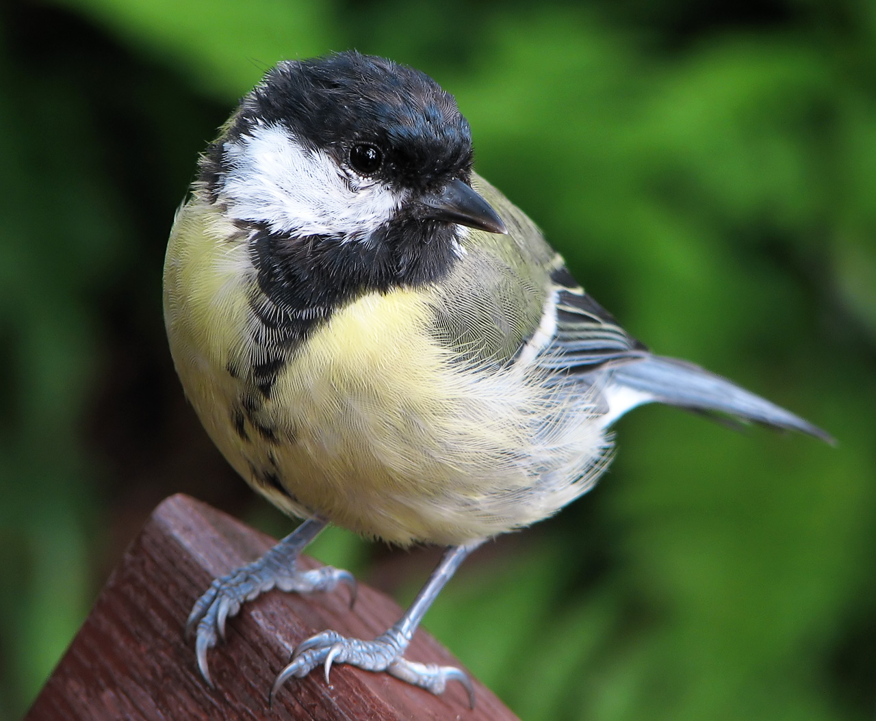 Great_Tit_%28Parus_major%29_1