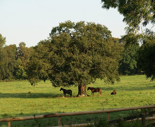 Horses by the Cotswold Way - geograph.org.uk - 976574