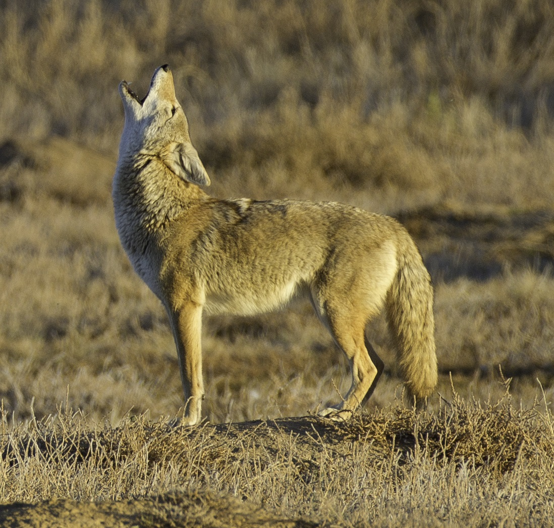 coyote dating Coyote hazing guidelines how to haze for effective reshaping of coyote behavior generally, coyotes are reclusive animals who avoid human contact.