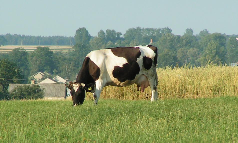 [Obrazek: Krowa.jpg]