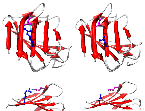 File:LMNA protein (1IFR) mutation R527L PMID 22549407.png