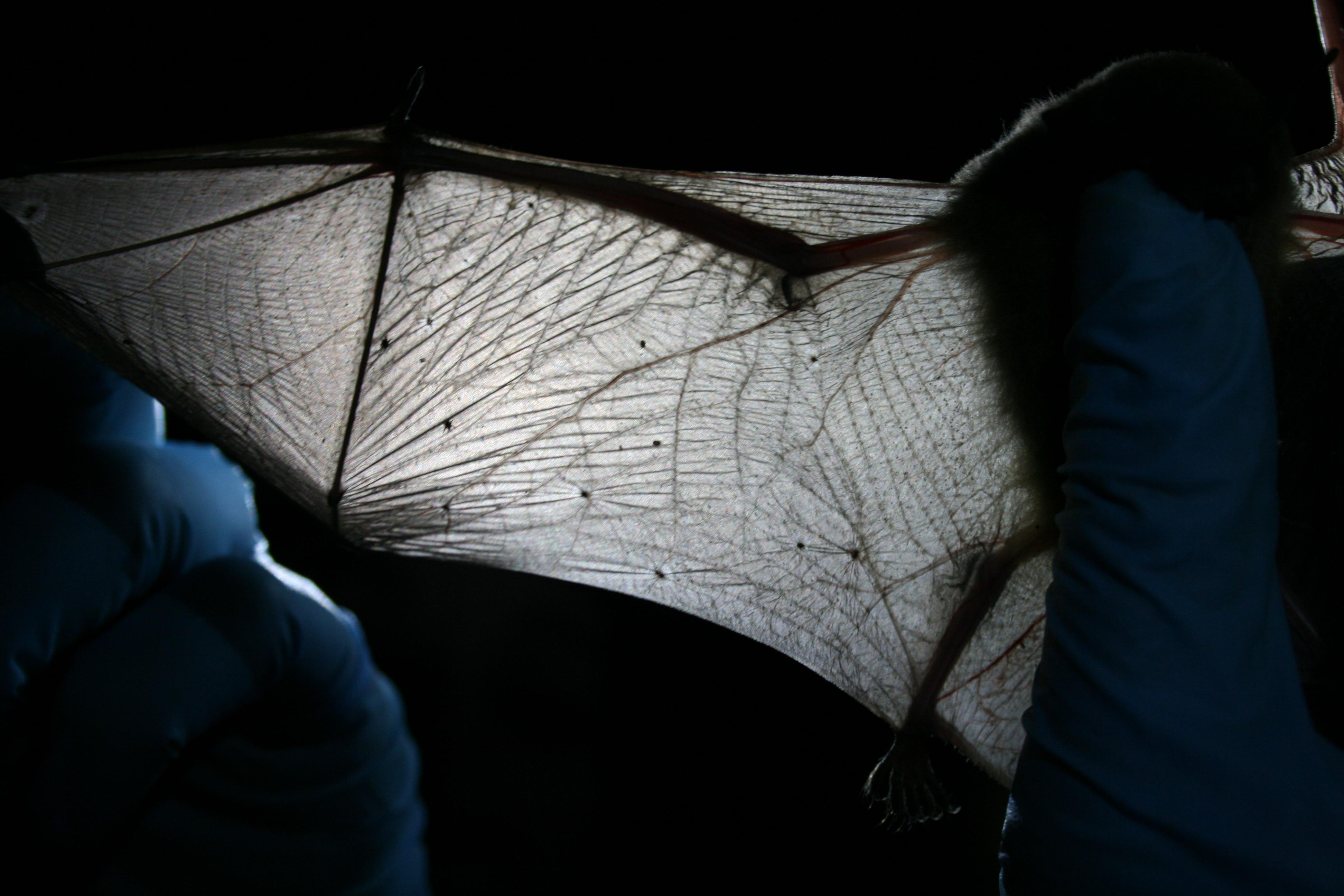 File:MDC biologist inspects bat wing (5600873422).jpg ...
