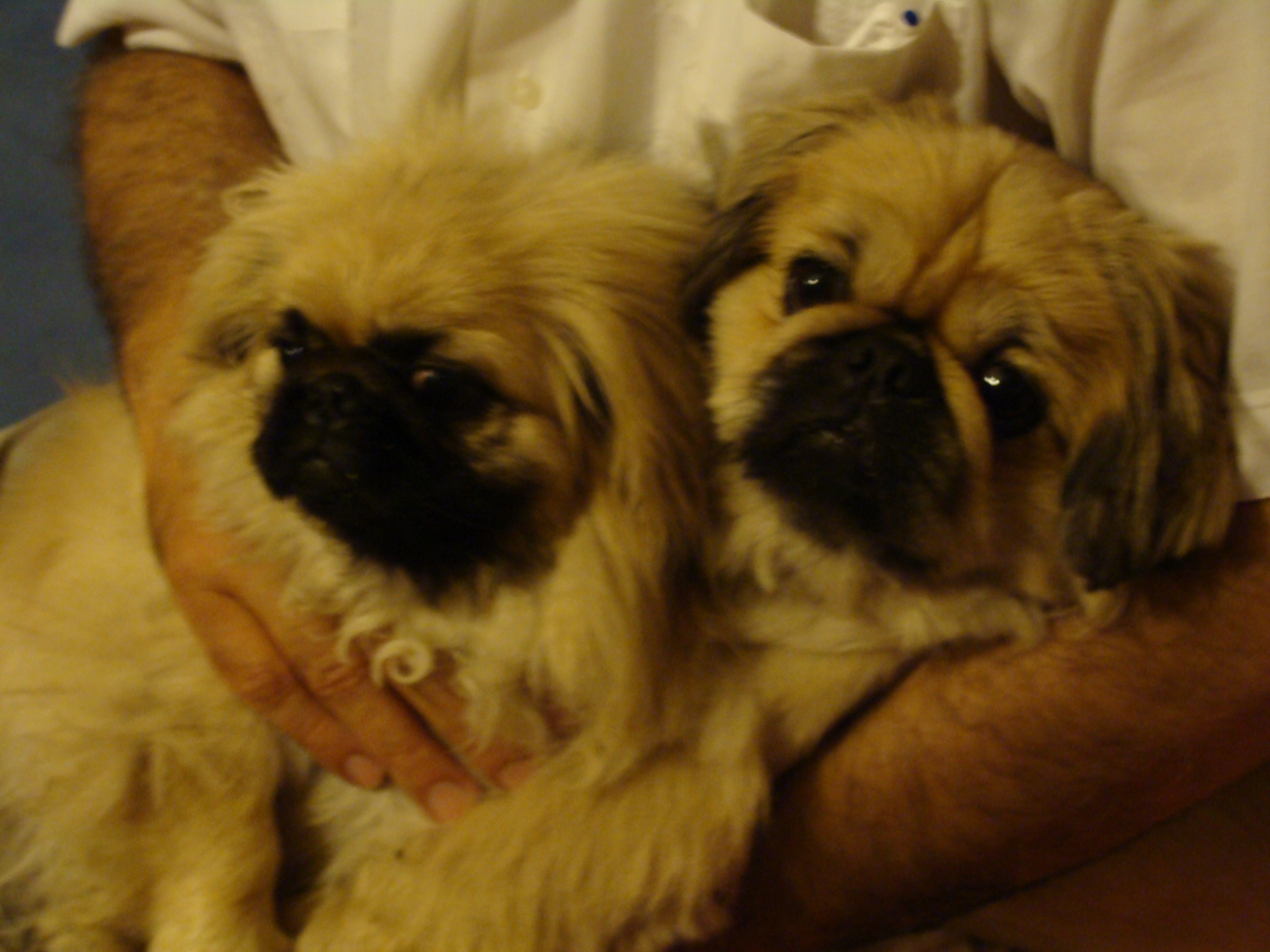white and brown pekingese   viewing gallery