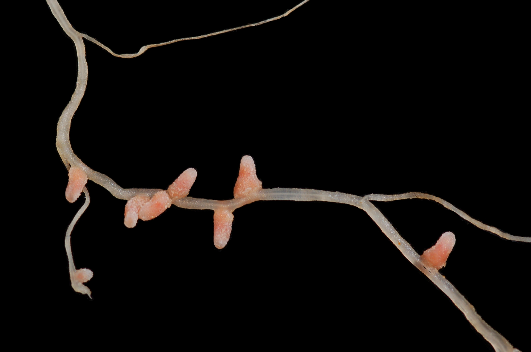 Nodulation: What Is It and Why Is It Important?