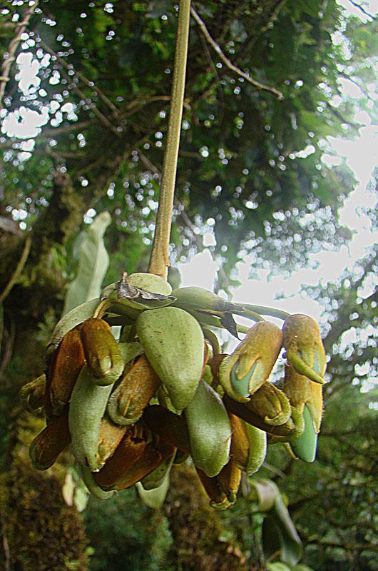 Mucuna urens - Wikispecies