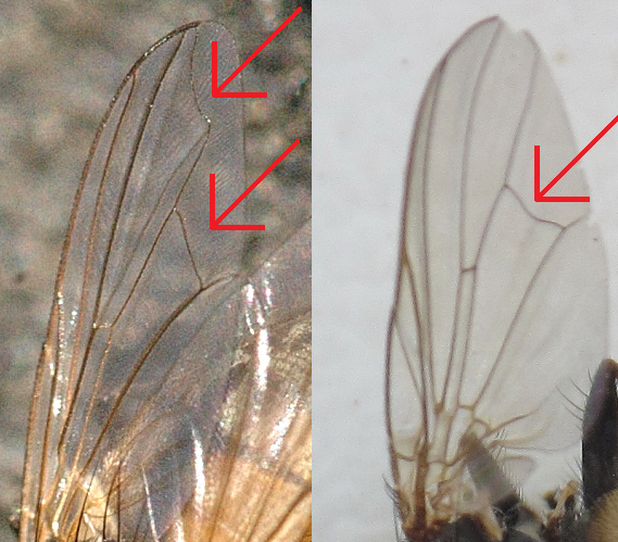 File:Musca.domestica vs Fannia canicularis wing comparison.png