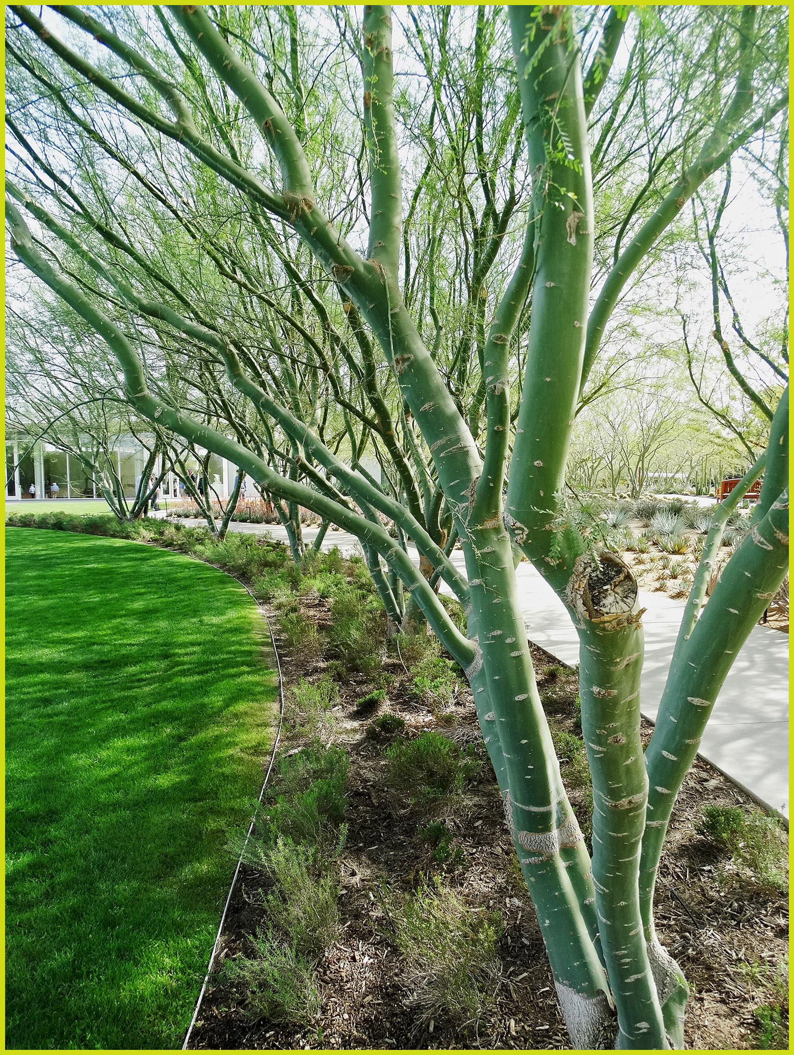 file palo verde trees 2 22 14a 12935881964 jpg wikimedia commons