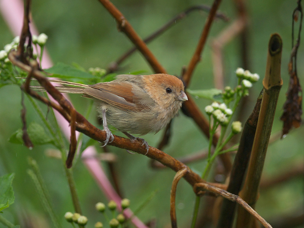 Vinous-throated parrotbill, photo by Alnus