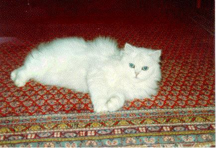 Soubor:Persian (cat) silver.jpg