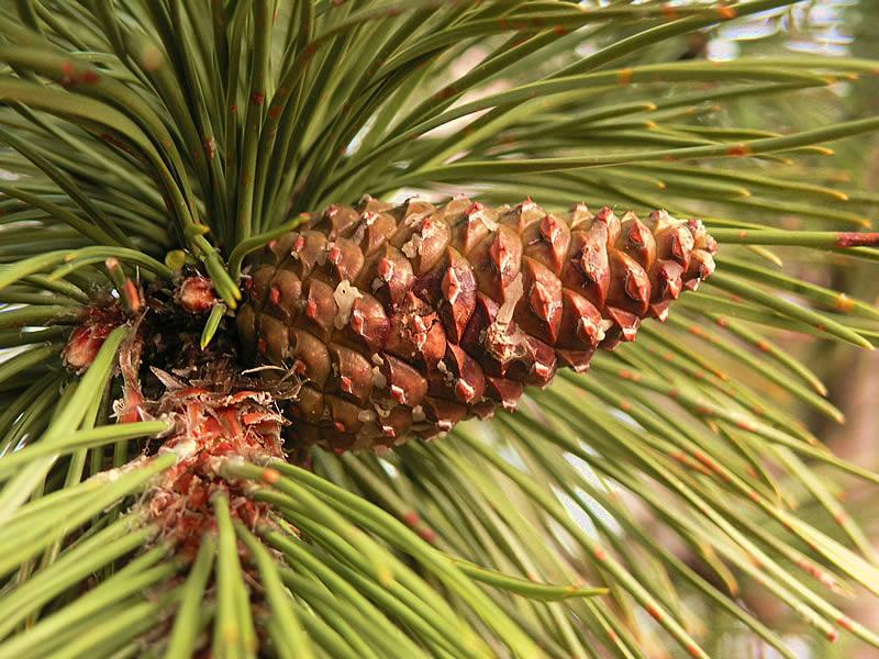 File:Pinus nigra cone Bad Voeslau.jpg