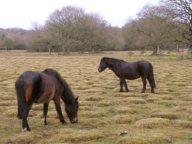File:Ponies grazing on Balmer Lawn, New Forest - geograph.org.uk - 121305.jpg