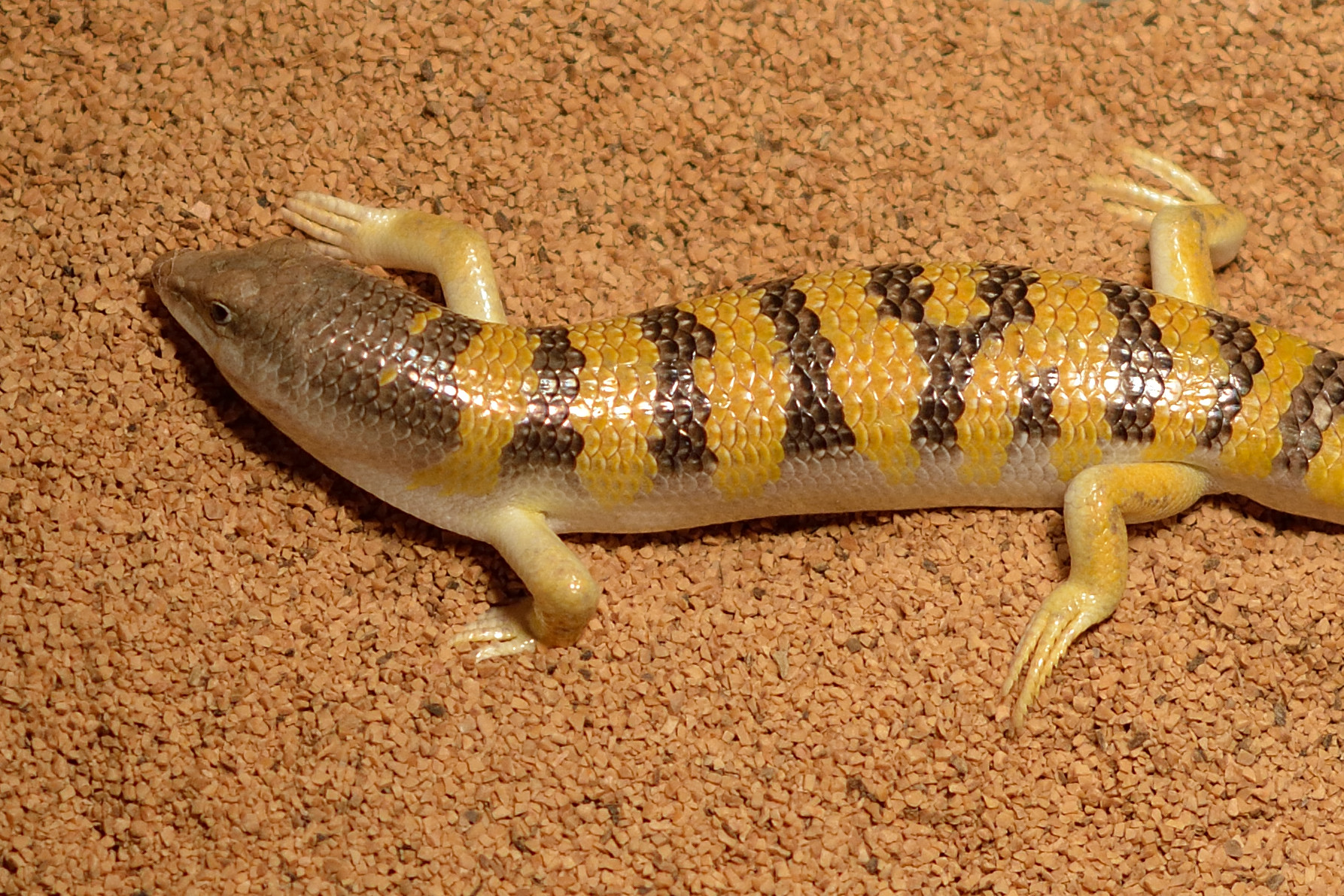 How to Care for a Sandfish Skink