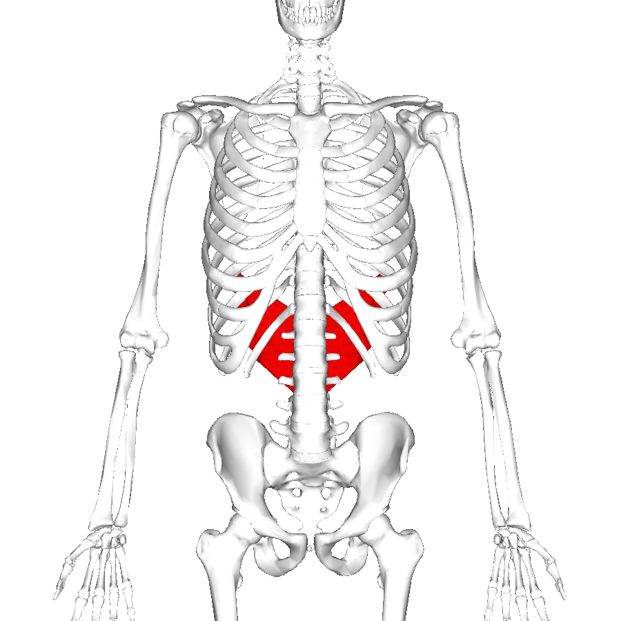 Serratus Posterior Inferior | www.pixshark.com - Images ...
