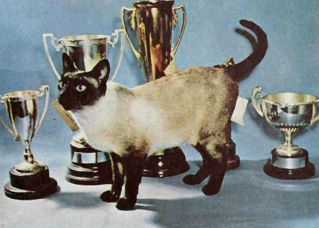 File:Siamese cat 1960.jpg
