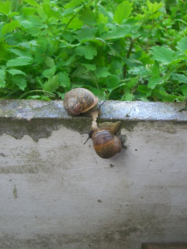 Snails Mate Garden Snails Mating