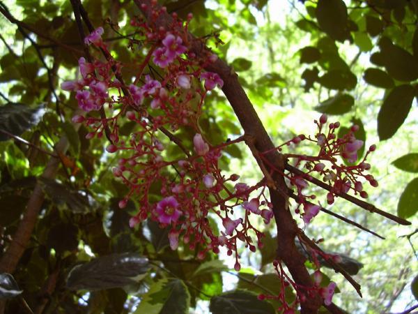 fleurs roses du carambolier
