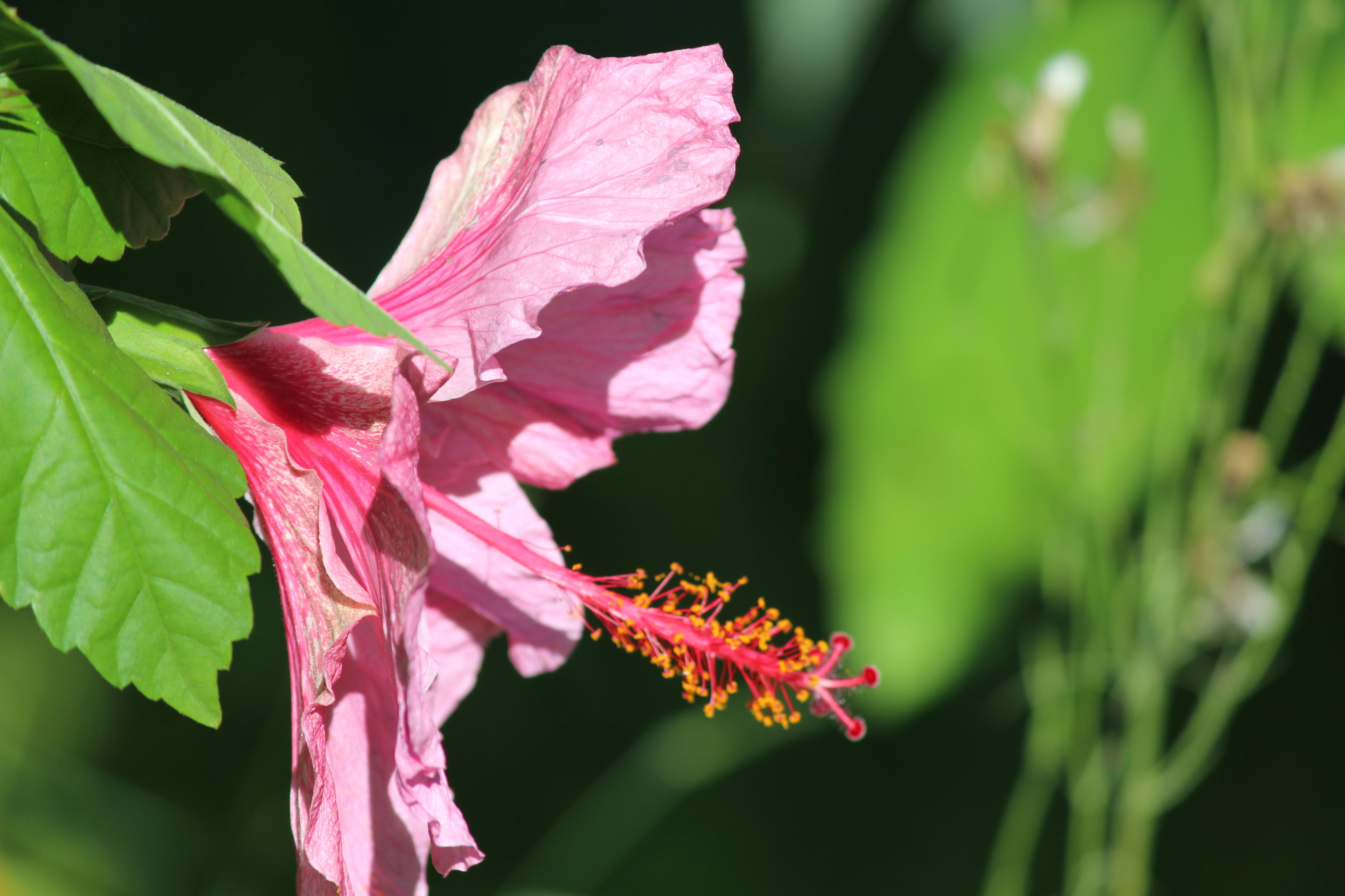 Filethe Huge Pink Flowerg Wikimedia Commons