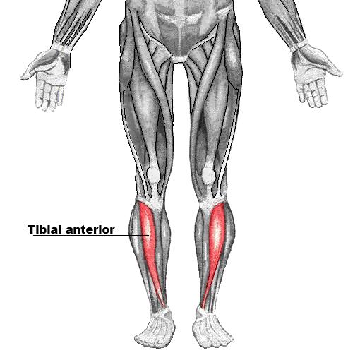 Músculo tibial anterior - Wikipedia, la enciclopedia libre