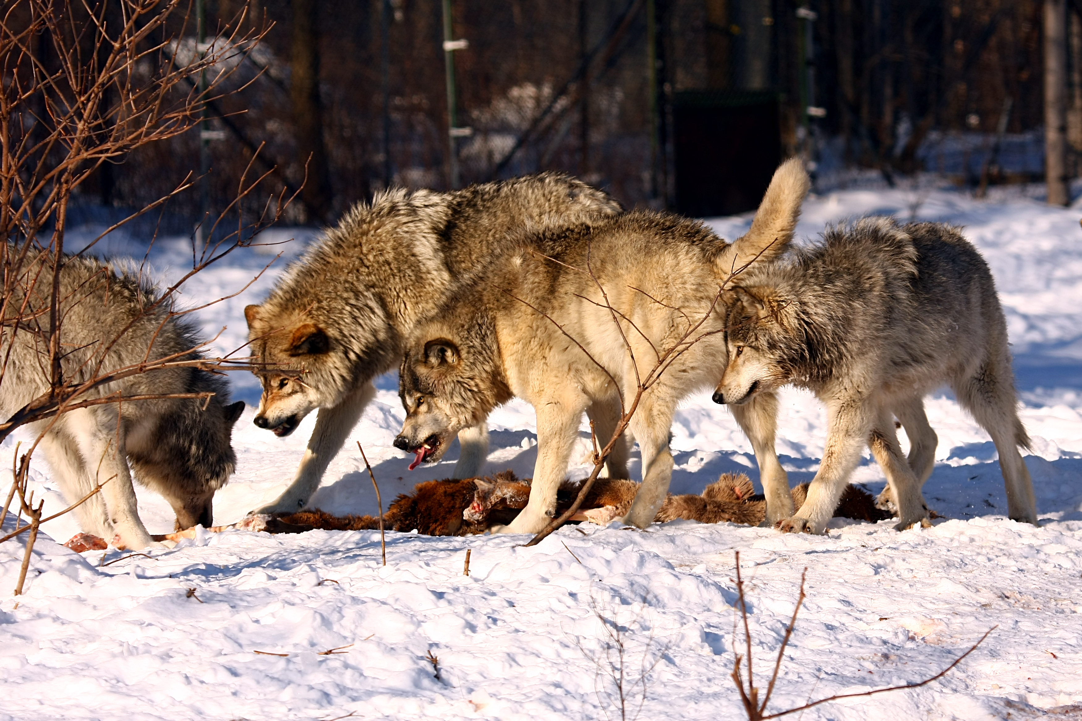 GrayWolfConservationcom  Wolves of the World