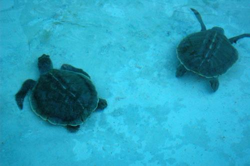 Archivo:Tortugas-jovenes.jpg