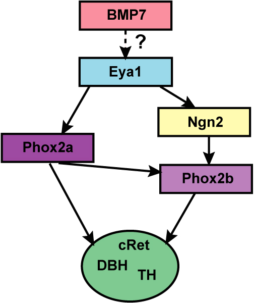 ultimatelycellular differentiation depends upon