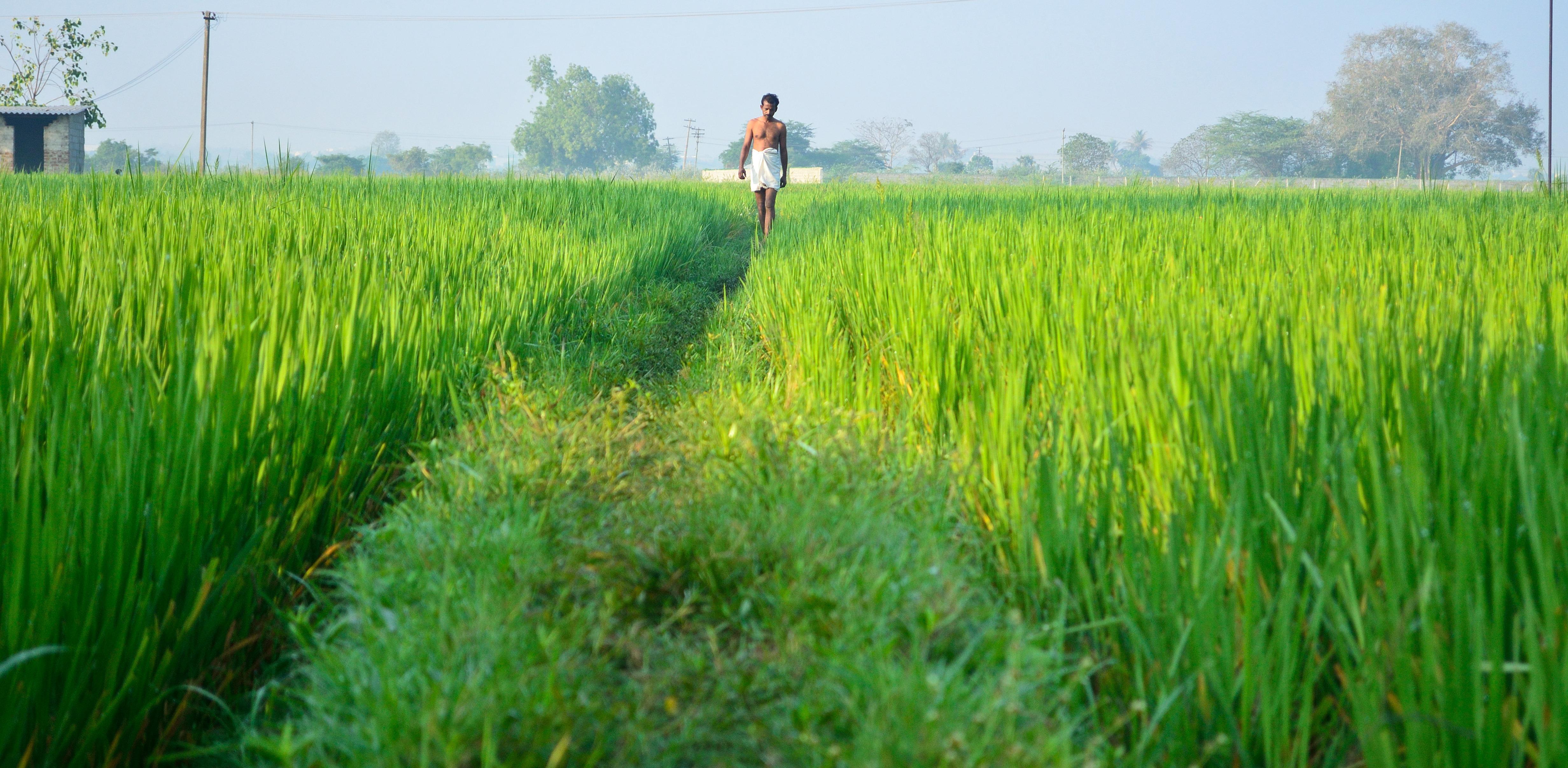 File:Villager walking through a field in Poonamallee, Tamil Nadu jpg