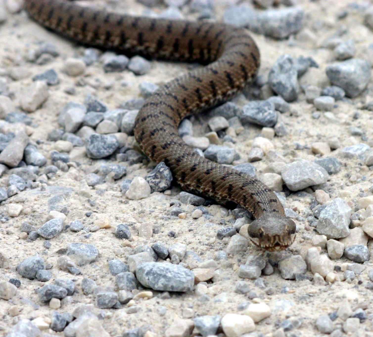 ASP Snake