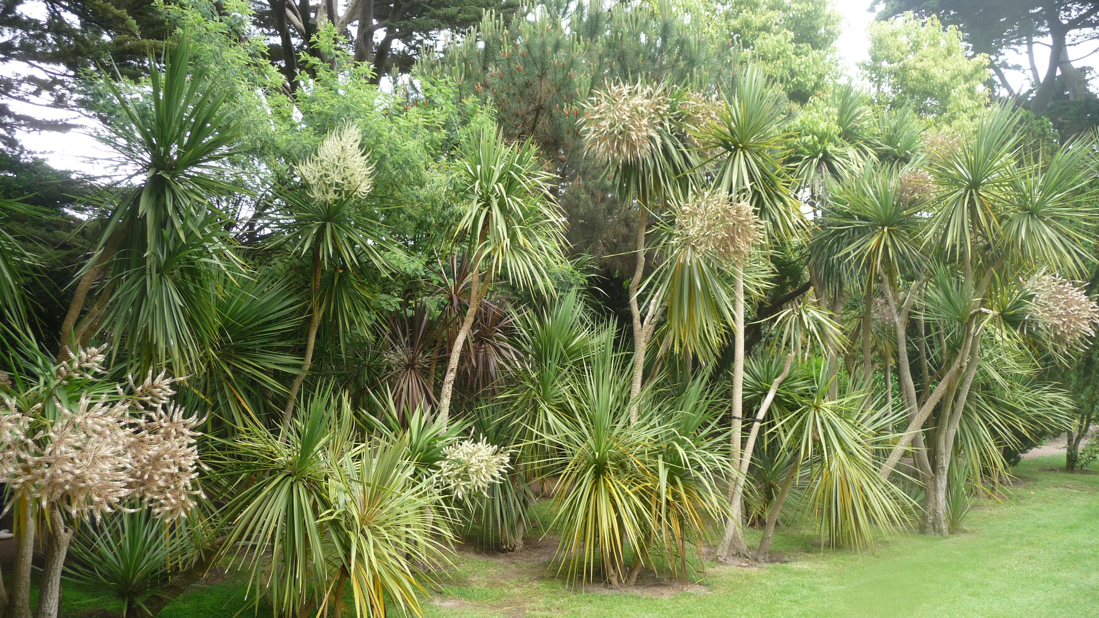 File le de batz 024 jardin georges delaselle cordylines for Jardin georges delaselle