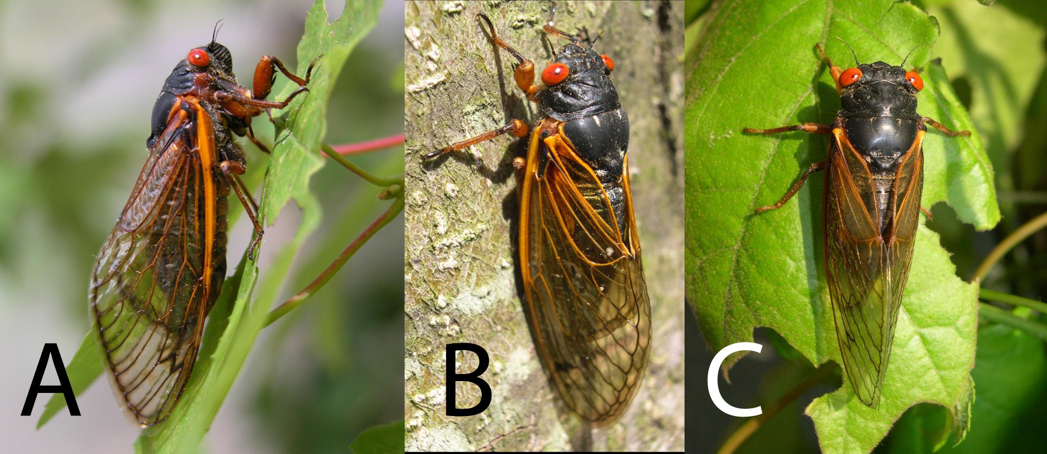 cassini periodical cicadas - photo #6
