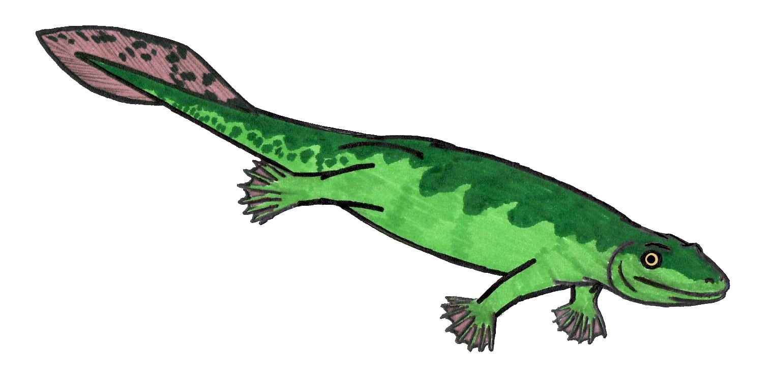 File:Acanthostega MLCS.JPG - Wikipedia