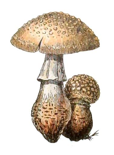 Resultado de imagem para champignon adolphe millot