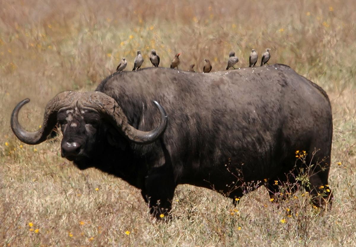 Bufalo africano...ma guardate gli uccellini dove hanno deciso di passare la giornata! dans a. grandi mammiferi African_buffalo_Syncerus_caffer_retouched