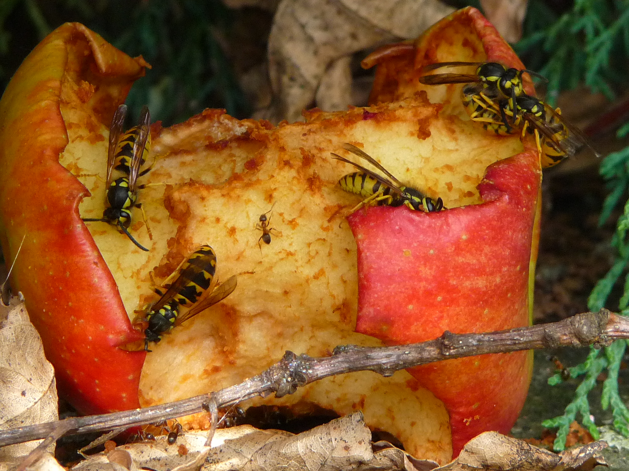 dateiangebissener apfel als nahrungsquelle für wespen und