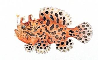 Файл:Antennarius striatus.jpg