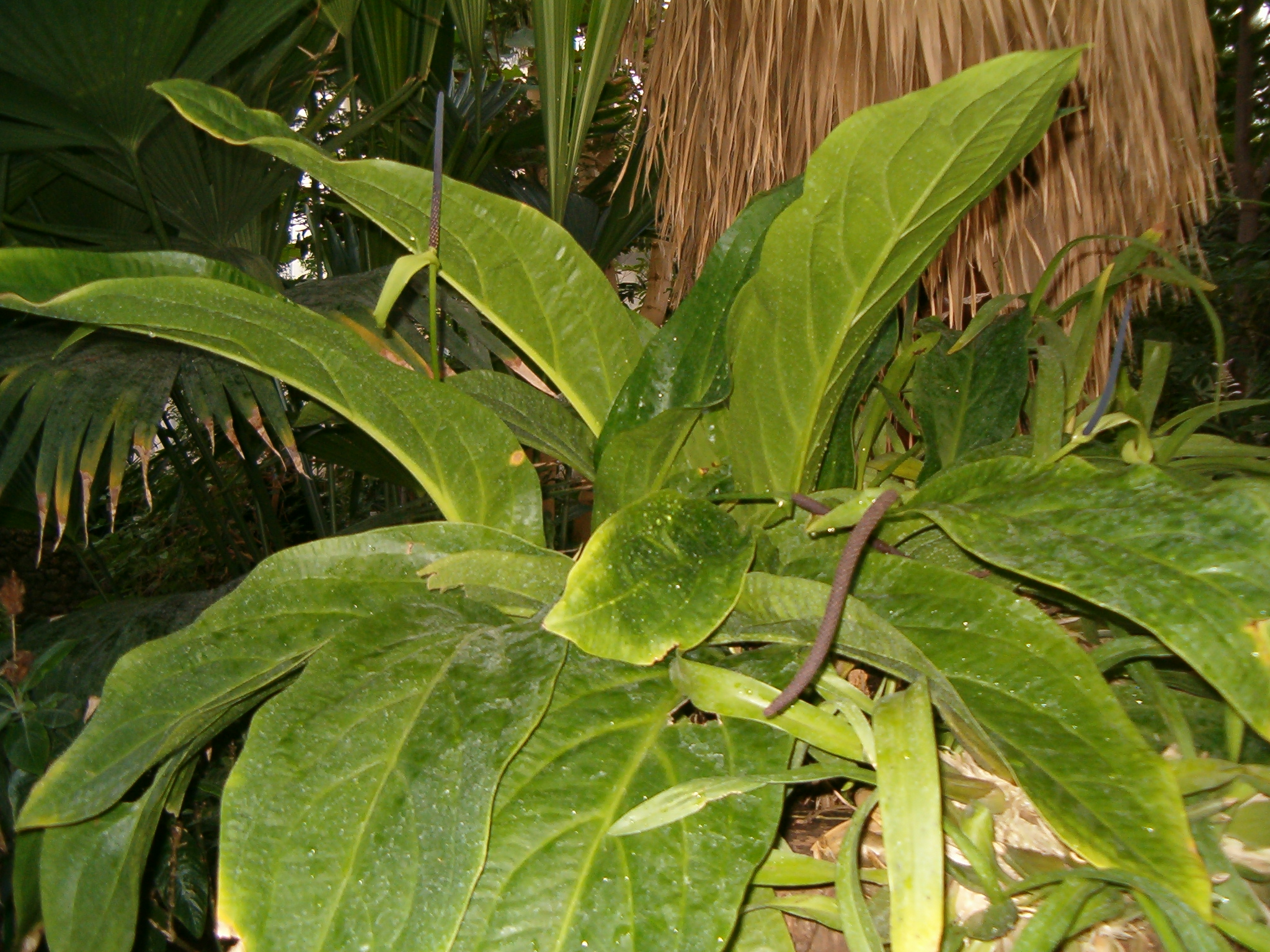 Tukang kembang anthurium hookeri - Anthurium turenza ...