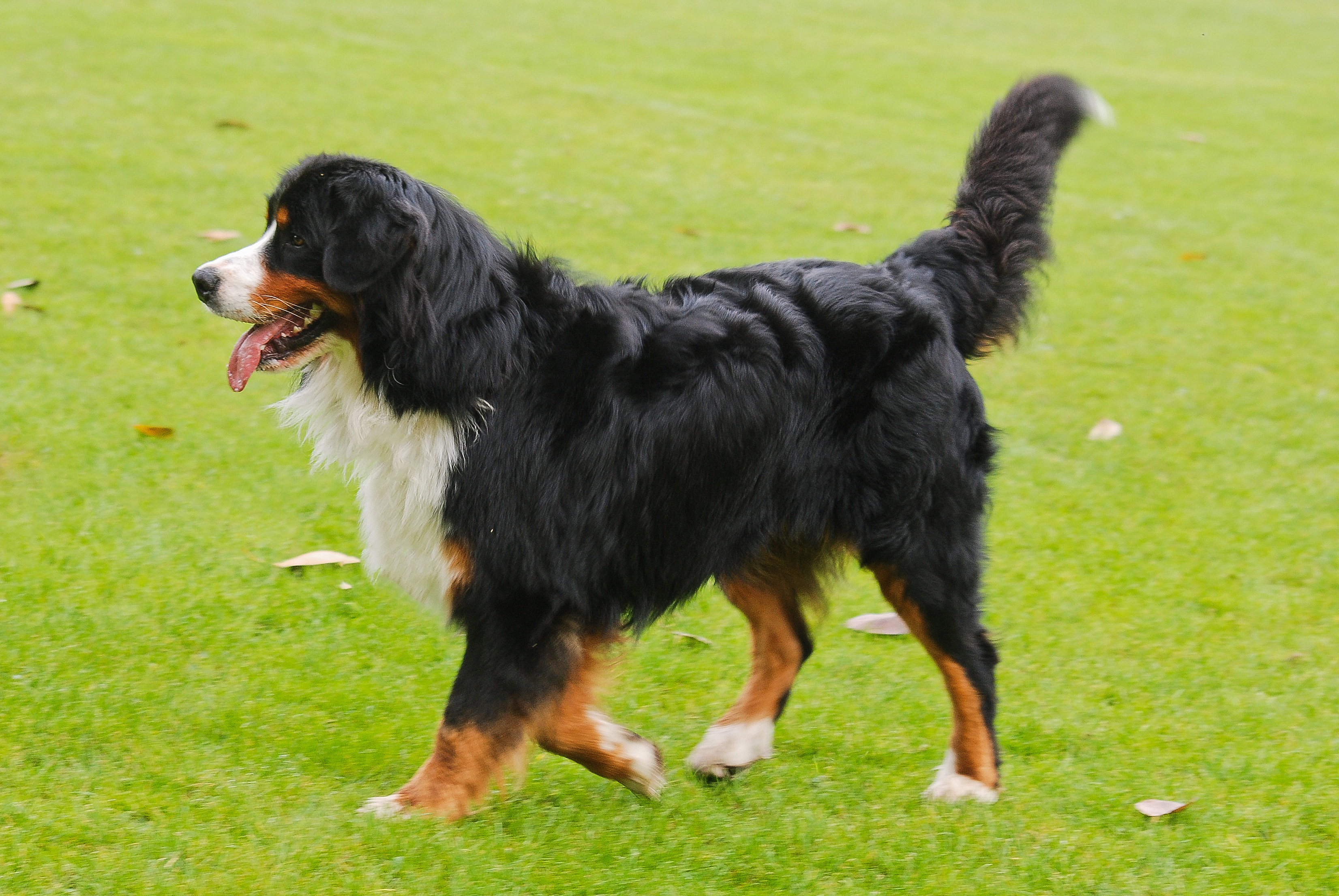 Bernese Mountain Dog For Sale Ohio